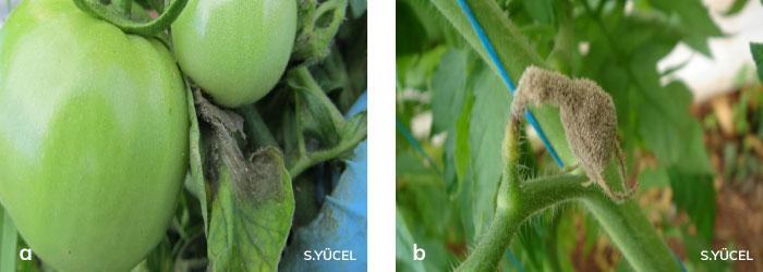 kurşuni küf hastalığının domates üzerinde oluşturduğu lekeler
