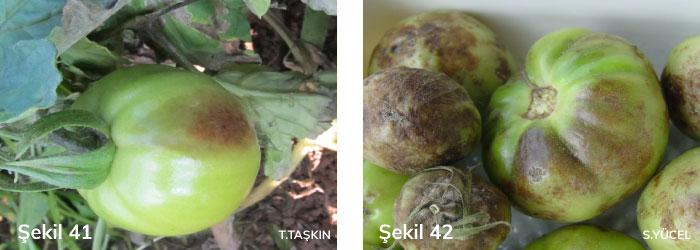domates mildiyösünün meyvedeki belirtileri