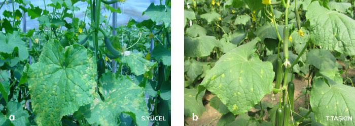 kabak mildiyösünün hıyar bitkisinde oluşturduğu belirtileri