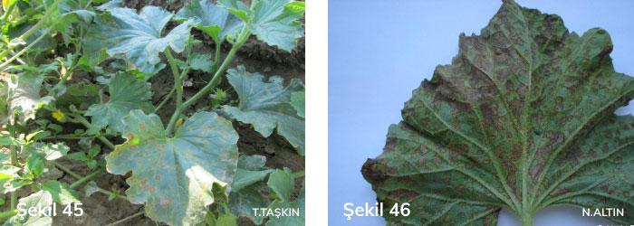 kabak mildiyösünün yapraktaki belirtileri
