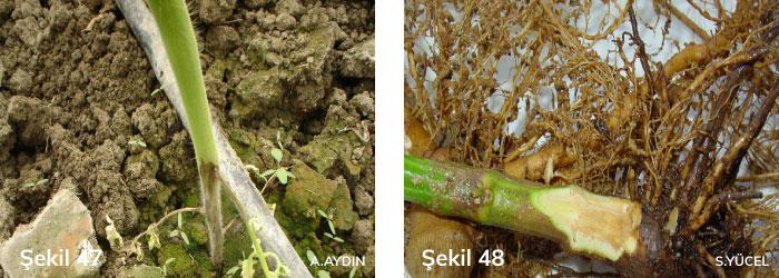 Domates ve biberde toprak kökenli hastalıklar