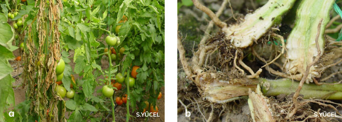 domates bitkisinde hastalıktan solgunluk
