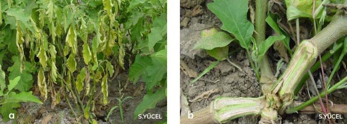 Patlıcan bitkisinde Fusarium solgunluğu hastalığı