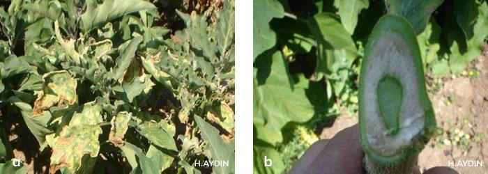 Patlıcanda Verticillium solgunluğu