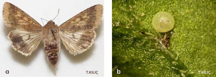 yeşilkurt larvası