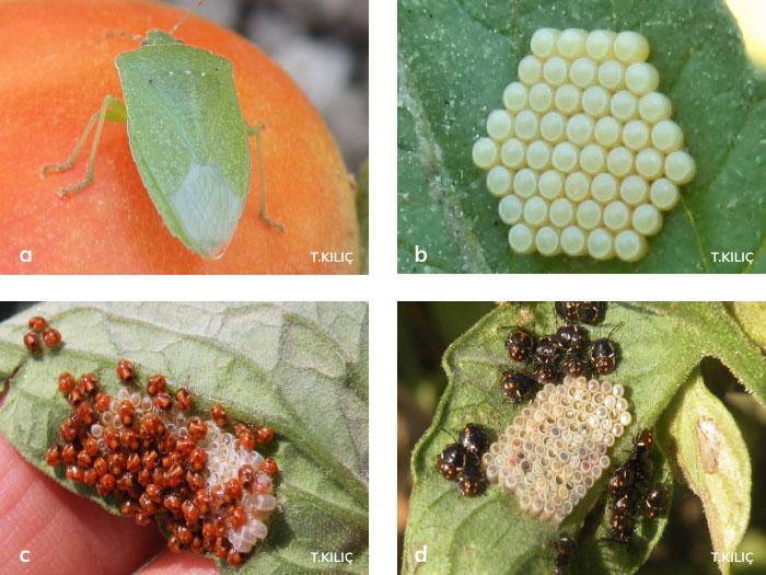 Pis Kokulu Yeşil Böcek'in böceğin larvaları