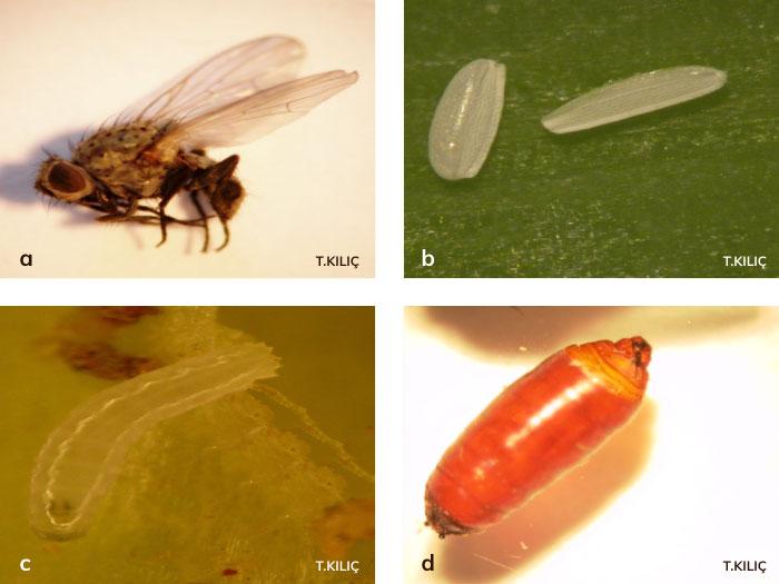tohum sineğinin gelişimi