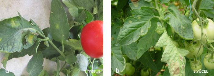 domates yapraklarında oluşan küf lekeleri