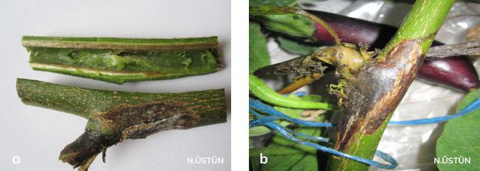 Domates öz nekrozu hastalığının patlıcan gövdesinde belirtisi