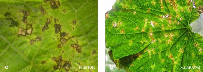 Hıyar köşeli yaprak leke hastalığının yapraktaki yağ lekeleri