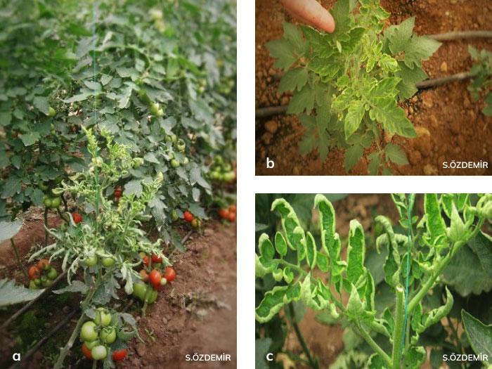 Domates sarı yaprak kıvırcıklık virüsü (TYLCV)'nün domatesteki belirtileri