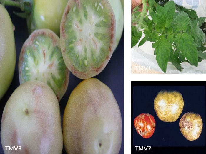 Domates yaprağında ve meyvesinde Tütün mozaik virüsü (ToMV) belirtileri
