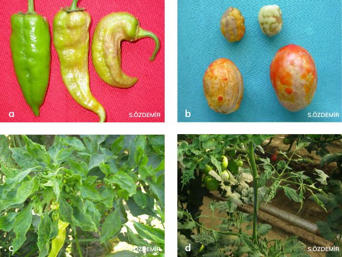 Hıyar mozaik virüsü (CMV)'nün biber ve domatesteki belirtileri