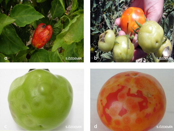 Domates ve biber meyvelerinde domates lekeli solgunluk virüsü'nün belirtileri