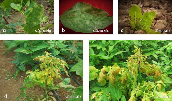 Biber ve marulda domates lekeli solgunluk virüsü'nün belirtileri