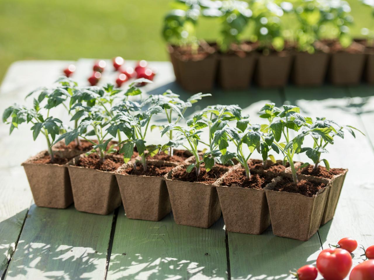 Bitkinin tohumdan çıkarak 3-4 yaprak olma seviyesine gelmesiyle oluşan fideler, üreticilere büyük avantajlar sağlar.