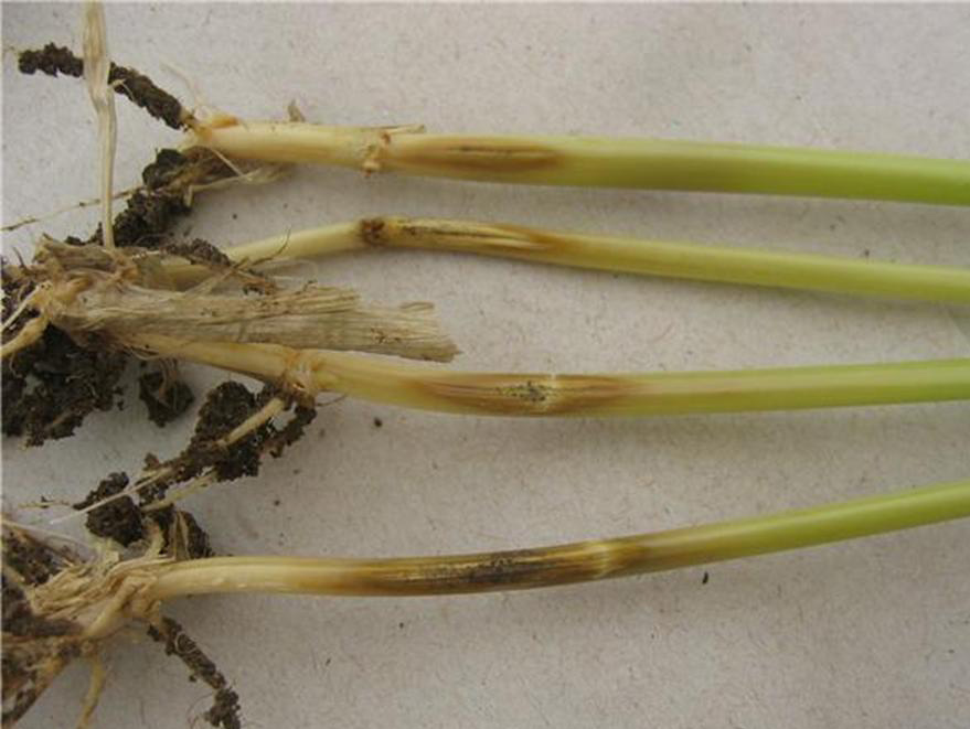 Buğday kökboğazında Pseudocercosporella herpotrichoides'in belirtisi