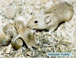 Microtus spp.'nin ergin ve yavruları