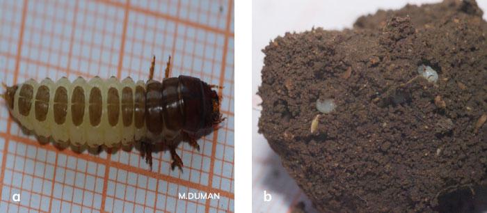 Ekin kamburböceğinin larvası ve pupası