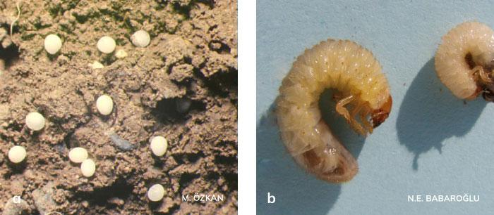 Bambul yumurtası ve larvası