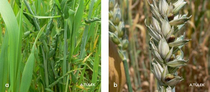 Buğday gal nematodunun yapraklarda oluşturduğu belirtiler ve başakta oluşturduğu belirtiler