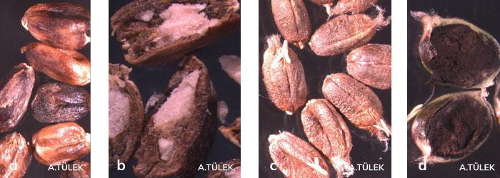 Buğday gal nematodu içeren galli taneler