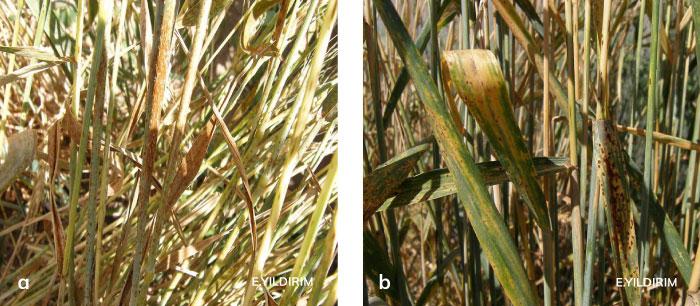 Karapasın buğday sap ve yapraktaki belirtisi