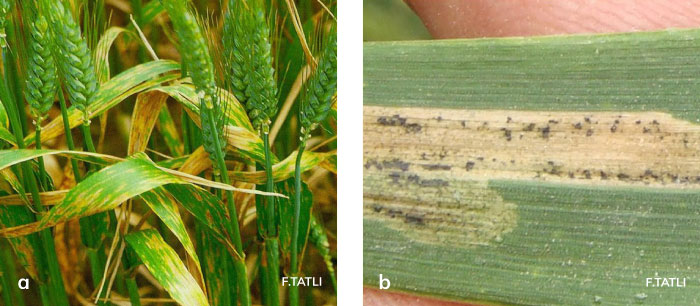 Septoria yaprak lekesi hastalığının yapraklardaki belirtisi