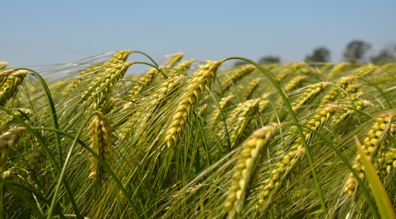 Buğday üretiminde zirai mücadele kapsamında zararlılar, hastalıklar ve besin maddesi noksanlıkları için örnekleme zamanı ve kontrol yöntemleri mücadelenin verimliliği açısından önem arz eder.