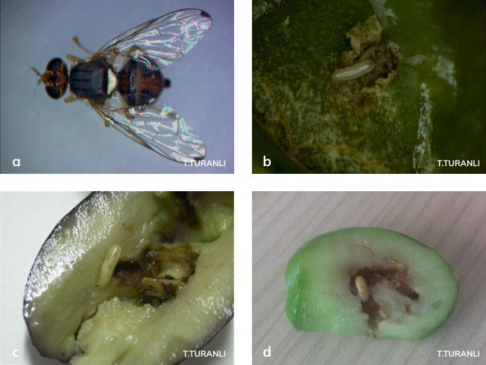 Zeytin sineği ergini, yumurtası, larvası ve pupası
