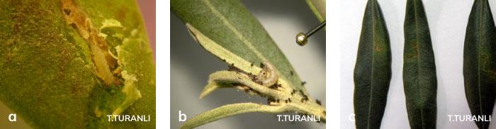 zeytin güvesinin yaprak dölünün larvası ve zararı