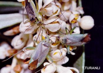 Zeytin çiçek sap sokanının çiçekteki erginleri