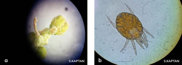 Aceria oleae ergini, Aculus olearius ergini
