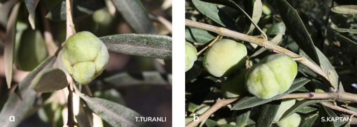 Zeytin Pasakarlarının meyvede meydana getirdiği şekil bozuklukları