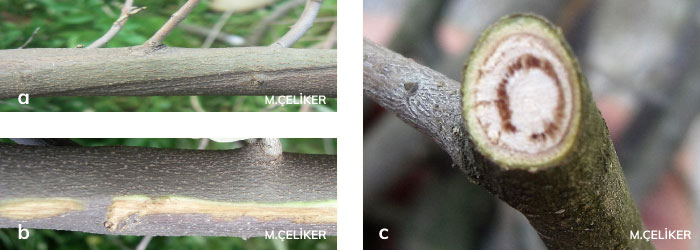 Zeytin Ağaçlarında Verticillium Solgunluğu