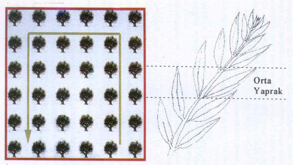 Zeytin bahçelerinde besin elementi noksanlıklarının belirlenmesi