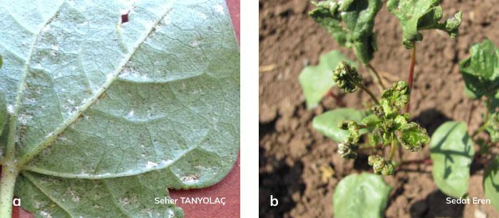 Tütün thripsi'nin yapraklarda gümüşlenme ve yapraklarda deformasyon zararı