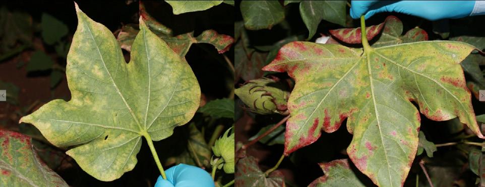 Pamuk yaprakpiresi'nin yapraktaki zararı