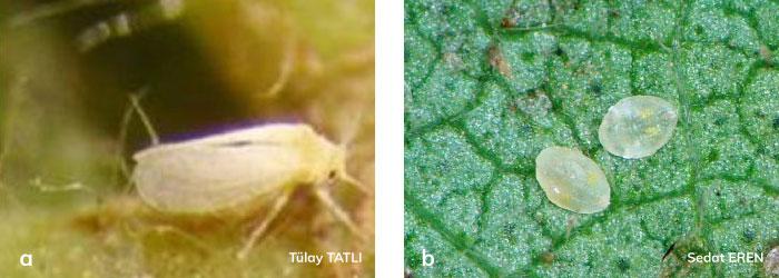 Beyazsinek ergini ve Beyazsinek larvası