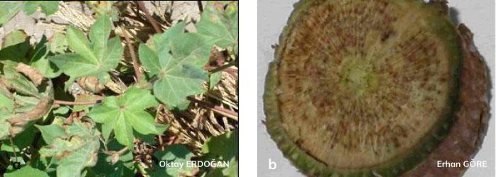 Verticillium solgunluğunun pamuk bitkisindeki genel görünümü
