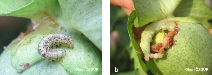 Yeşil Kurt'un larvası ve kozadaki zararı