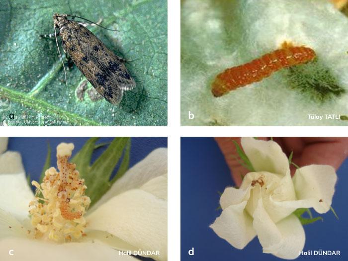 Pembekurt ergini vesSon dönem pembekurt larvası