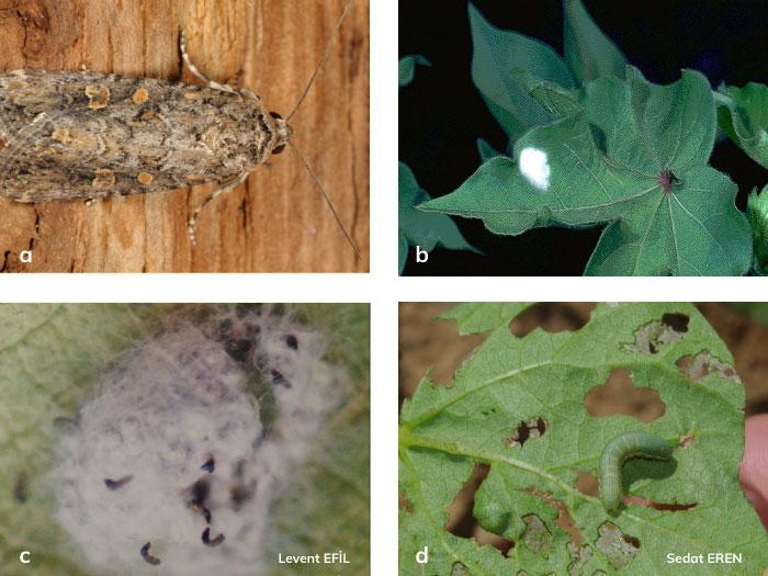 Çizgili pamuk yaprakkurdu ergini, Çizgili pamuk yaprakkurdu yumurta paketi, Çizgili pamuk yaprakkurdununun yeni çıkmış larvaları, Çizgili pamuk yaprakkurdu larvası.