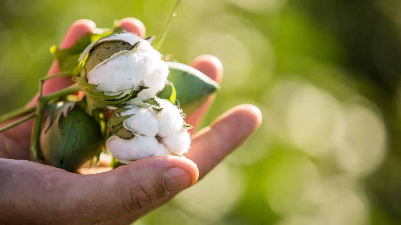 Pamuk üretiminde zirai mücadele kapsamında zararlılar, hastalıklar ve besin maddesi noksanlıkları için örnekleme zamanı ve kontrol yöntemleri mücadelenin verimliliği açısından önem arz eder.