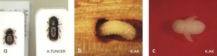 Dalkıran dişisi ve erkeği, larvası