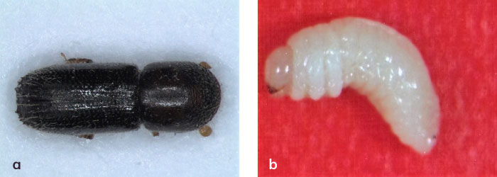 Xyleborinus saxeseni'nin dişisi ve larvası