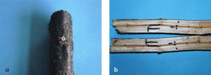 Xyleborus saxesenii'nin dalda açtığı giriş deliği ev çıkardığı talaş
