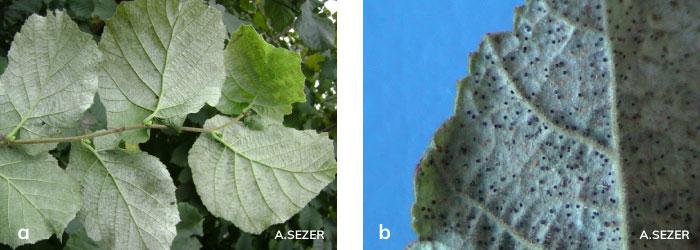 Fındık yapraklarının alt yüzeyinde P. guttata'nın neden olduğu belirti