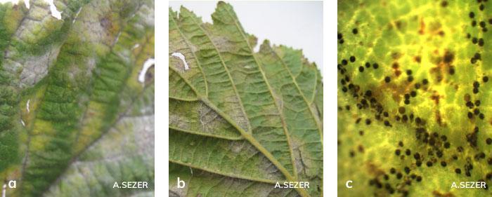 Fındık yapraklarında E. corylacearum'un ilerleyen dönemde neden olduğu yaprak üst yüzeyindeki alt yüzeyindeki belirtiler