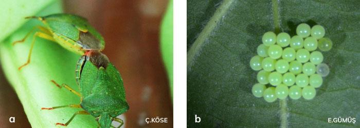 Şekil 23. Fındık yeşil kokarcası ergini ve yumurtası